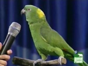 Singing Parrot
